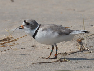 """""""Old Man Plover"""" (BO:X,g) made it south!"""