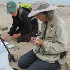 Alice Van Zoeren banding an adult at Sleeping Bear Dunes. (Alison Horton recording data)