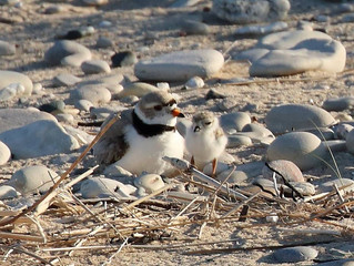 Record Breaking Number of Chicks Fledged for Great Lakes Piping Plover.