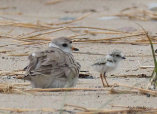 A Less Lonely Shore – The Great Lakes Piping Plover and the Endangered Species Act: A comeback story