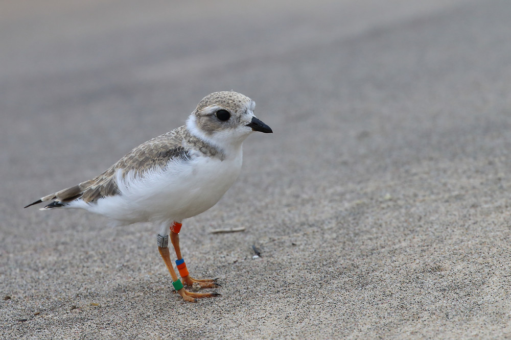 "Young Of,B/00:X,G, the last chick of ""Old Man Plover"" shortly after release into the wild."