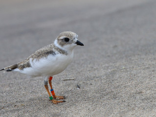 Captive Raised Plovers make it to Wintering Grounds