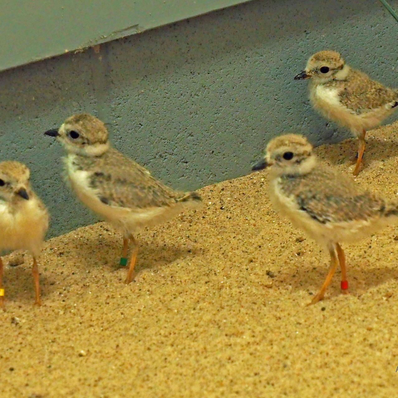 Big chicks at captive-rearing