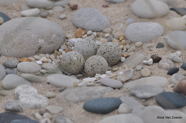 Great Lakes Piping Plover nest.