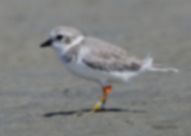Winter plumage Great Lakes Pipinig Plover