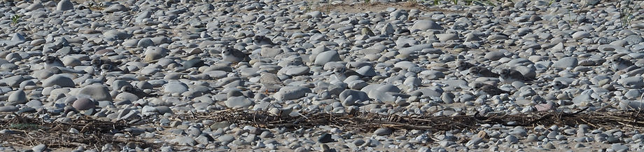 Juvenile Great Lakes Piping Plovers resting