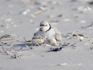 "Plovers Flourish on the ""Shipwreck Coast"""