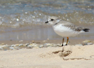 What did Hurricane Matthew mean for Great Lakes Piping Plovers?
