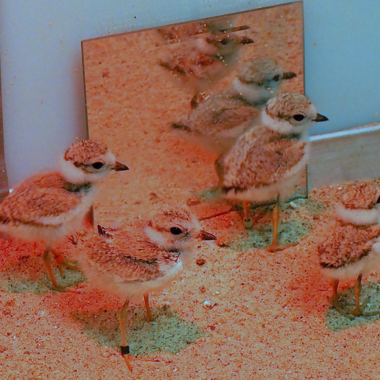 Young chicks at Captive-rearing