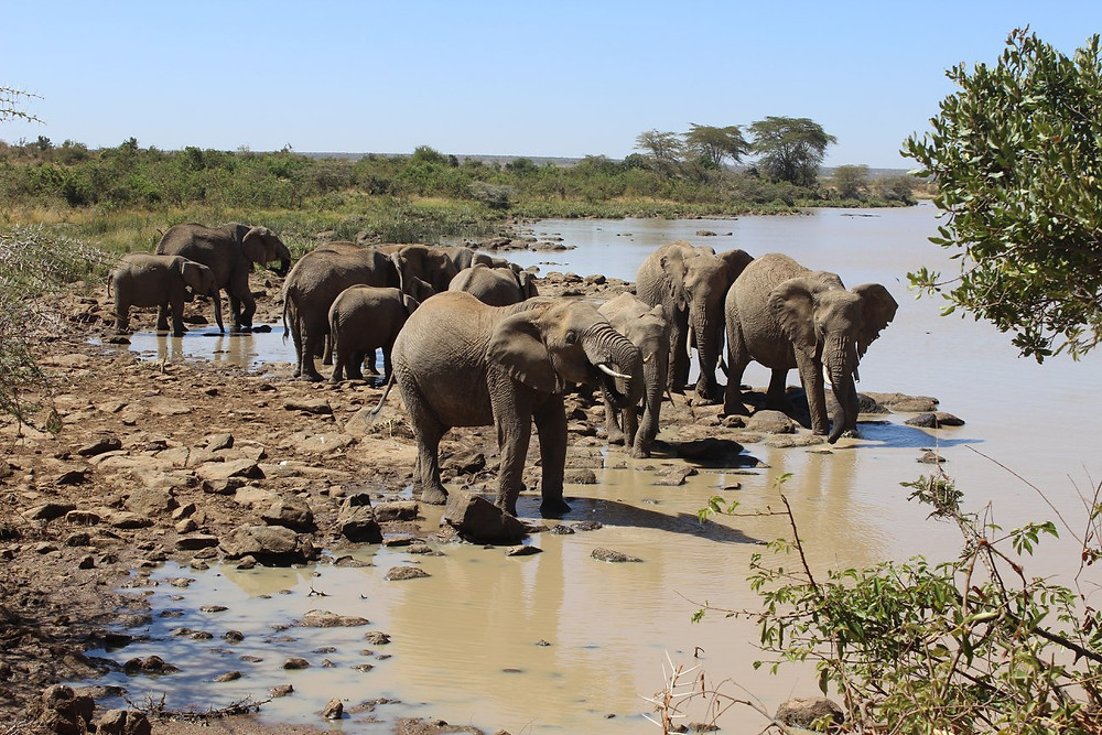 Wild Elephants in Laikipia, Kenya (Feb 2018)