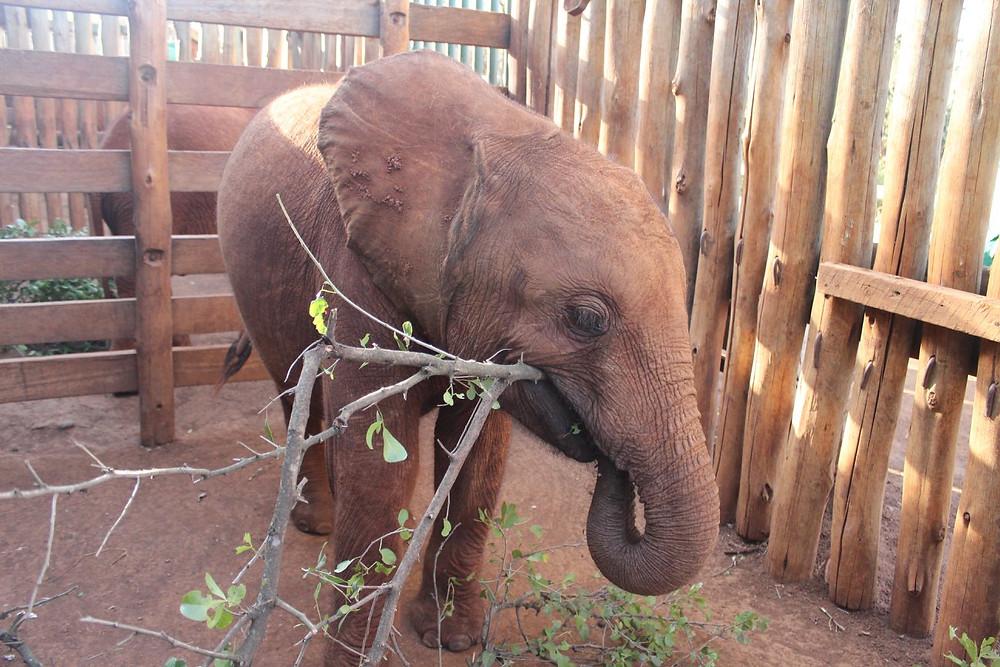 Ambo loves his sticks, DSWT Nursery, Nairobi, Kenya (Feb 2018)