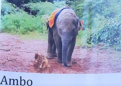Ambo the Elephant: A Love Story