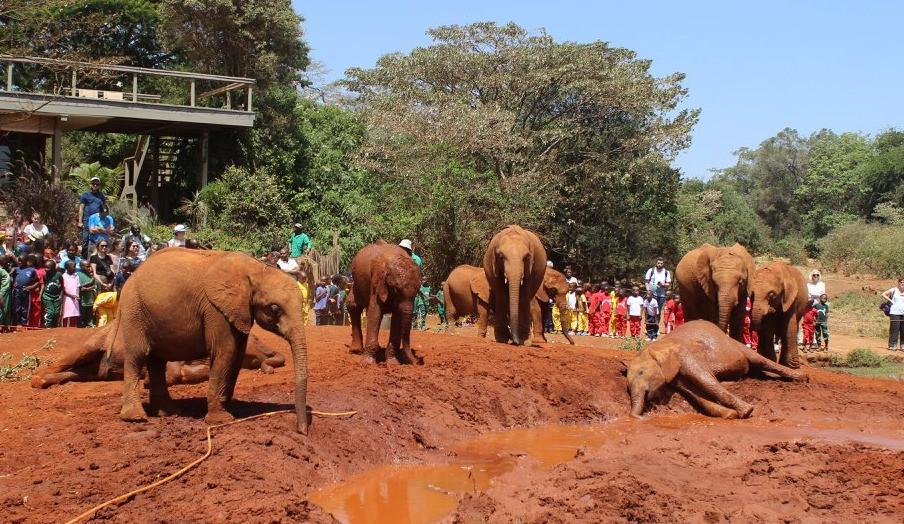 Ambo and his friends enjoying a mud bath, DSWT Nursery, Nairobi, Kenya (Feb 2018)