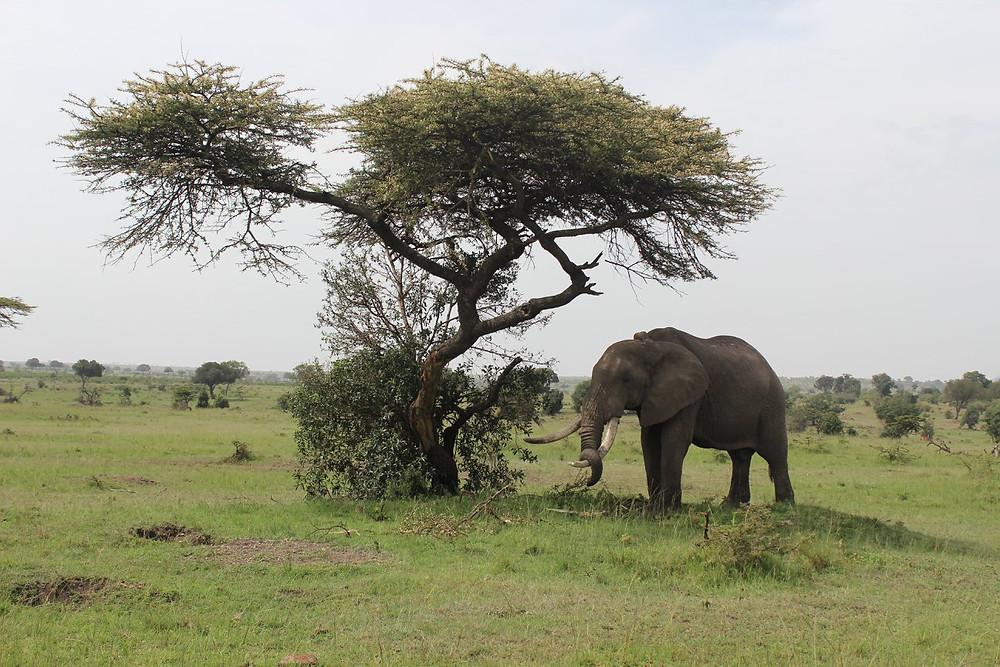 Hugo, one of the Mara's majestic tuskers, Kenya (Feb 2018)