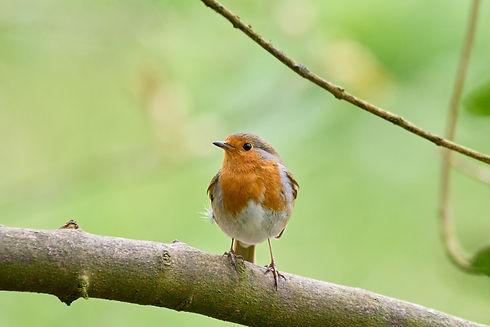 Robin on branch.jpeg