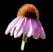 echinacea-3358700_1920.png
