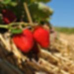 cueillette de fraises à Gollion