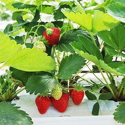 cueillette de fraises Mara des bois