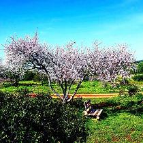 almond garden.jpg
