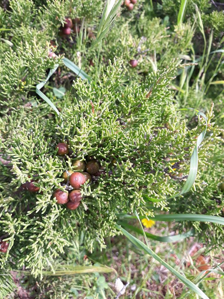 juniper herbal path