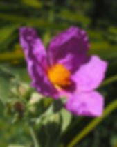 whitish-rock-rose-1117612_1920.jpg