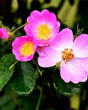 wild-rose-4277285_1920.jpg