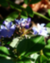 auriculata-59752_1920.jpg