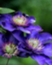 clematis-multi-blue-4200992_1920.jpg