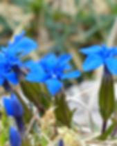 spring-gentian-117409_1920.jpg