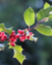 llex-aquifolium-3913976_1920.jpg