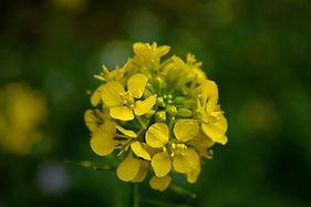 mustard-flower-3825019_1920.jpg