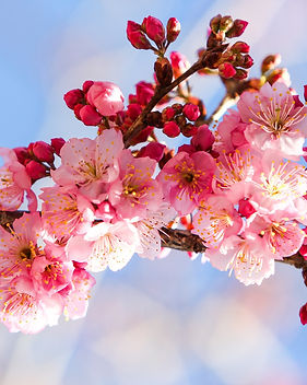 cherry-blossoms-656965_1920.jpg