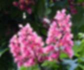 horse-chestnut-red-3397167_1920.jpg