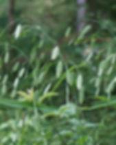 wild-oats-1509728_1920.jpg