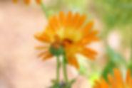 marigold-5295137_1920.jpg