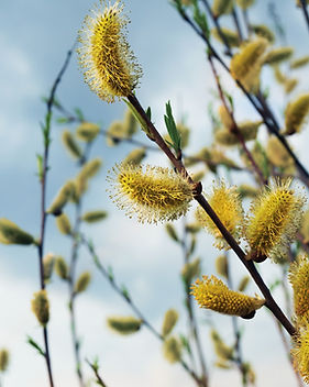 willow-2271476_1920.jpg