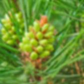 pine-2245820_1920.jpg