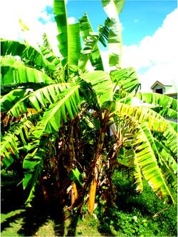 Bananeraie