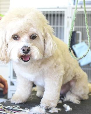 Dog Haircut