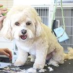 Corte de pelo de perro