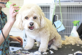 dog getting haircut