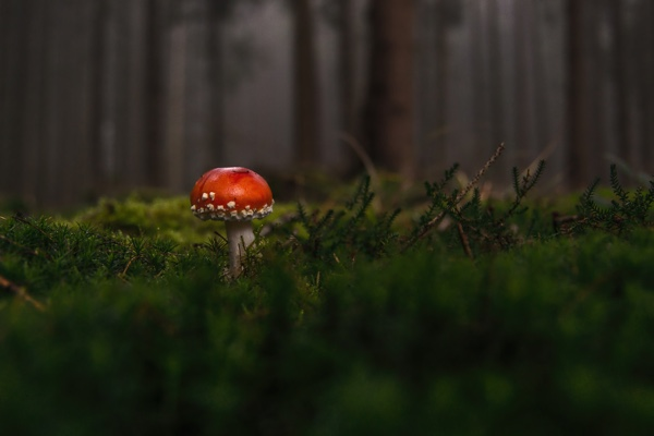 Muscaria