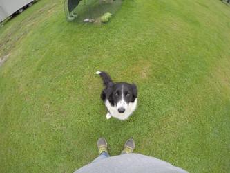 Flo our Collie Chicken Dog
