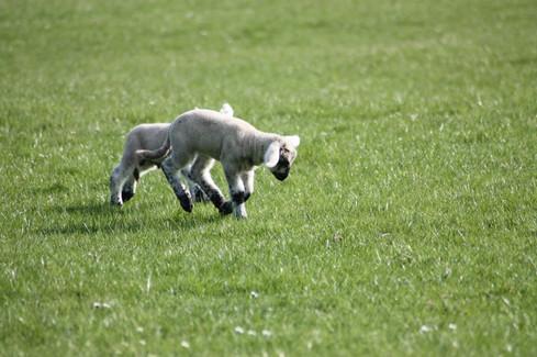 Lambs playing in the Sun