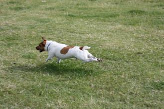 Bacon Terrier