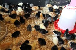 Hybrid Chicks