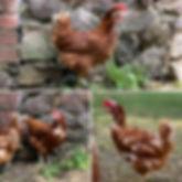 Rescue Hens.JPG