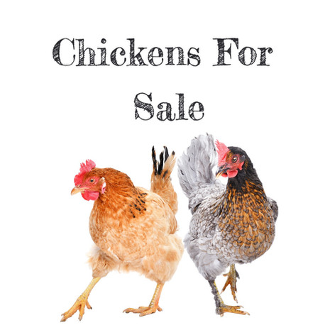 Chickens for Sale New