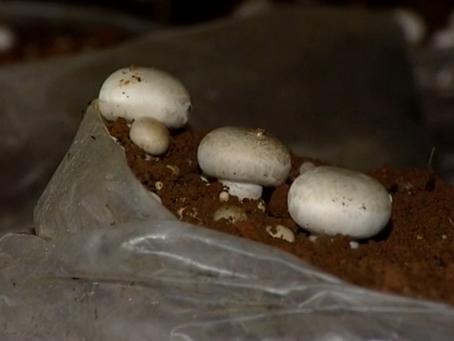 Baixa no imposto de importação do cogumelo preocupa produtores do Alto Tietê