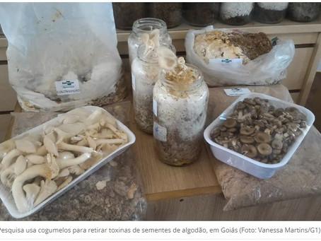 Uso de cogumelos viabiliza ração para animais com farelo de semente de algodão